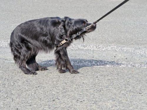 Hond in de ankers na knal